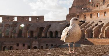 Seagull in the Colosseum ( Coliseum, Colosseo ,also known as the Flavian Amphitheatre )