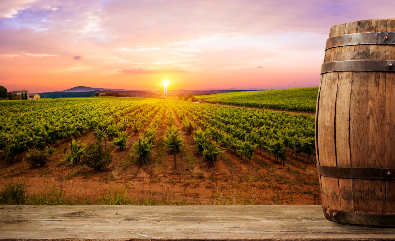 Things to do in Tuscany - Ripe wine grapes on vines in Tuscany, Italy. Picturesque wine farm, vineyard. Sunset warm light